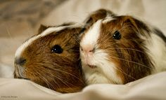The Guinea Pig Daily: Misha and Aya--These pigs look like my first pig, Guinea. Such a sweetheart.