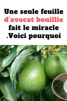 Une seule feuille d'avocat bouillie fait le miracle .Voici pourquoi #plante #avocat #herbe #jardin #bricolage #santé Avocado Popsicles, Cholesterol, Miracle, Food And Drink, Herbs, Voici, Fruit, Vegetables, Health