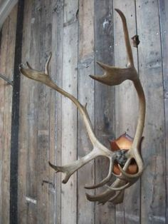 large reindeer antlers mounted on a plaque