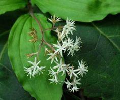 Maianthemum japonicum Plant Leaves, Plants, Plant, Planets