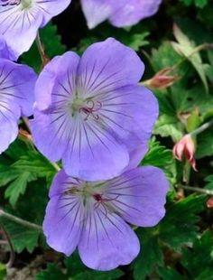 Geranium 'Azure Rush'. Planted with Rosa 'Lady Emma Hamilton' and Penstemon 'Raven'.