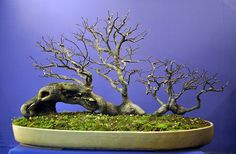 ✿ڿڰۣ(̆̃̃•Aussiegirl Maple bonsai  More At FOSTERGINGER @ Pinterest ️️