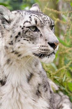 Clouded Snow Leopard Looking off in the Distance.