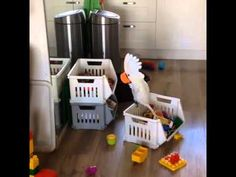 Silly Cockatoo Yells Into a Plastic Cup Just to Hear the Sound of Her Own Voice
