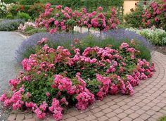 Image result for carpet roses