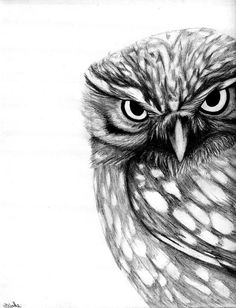 The Little Owl Athene noctua - Artwork by Nathan James.