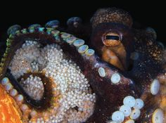 WALK THIS WAY A coconut octopus looks after its eggs in Manado, Sulawesi, Indonesia. Female octopuses often do not hunt during the month spent taking care of the eggs and may even eat some of her own arms for energy. Photo by Ivan Choong