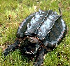 Alligator Snapping Turtle from Cajun Country