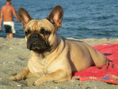 FRANCINE DU TERROIR DE FONTFROIDE, (which just means Fancy French Bulldog)