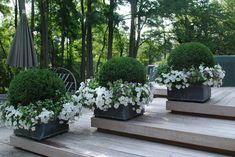 Boxwood bushes surrounded by petunias, a beautiful combination