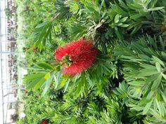 The Bottlebrush plant is a perennial which provides lovely color many times during the year. It is full sun, very hardy, requires low maintenance, relatively drought tolerant and fairly inexpensive.  The Botanical name for Bottlebrush is Callistemon.