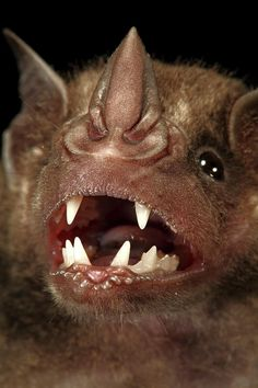 Greater Spear-nosed Bat Phyllostomus ~ Photo by Christian Ziegler -NO.IT IS NOT CREEPY.it is beautiful designed! How marvellous is the Creator of us all! Creatures Of The Night, Weird Creatures, All Gods Creatures, Animal 2, Mundo Animal, Animal Noses, Animals And Pets, Funny Animals, Cute Animals
