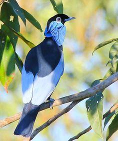 Foto anambé-pombo (Gymnoderus foetidus) por Mathias Singer | Wiki Aves - A Enciclopédia das Aves do Brasil