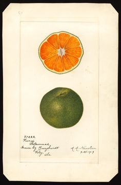 USDA pomological watercolor collection | satsumas