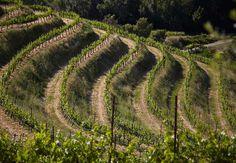 Vineyard for a backyard :)