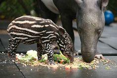 Marjorie the baby Malayan Tapir at Belfast Zoo