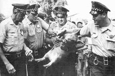 Pigasus seized by police, Chicago Democratic National Convention, 1968.