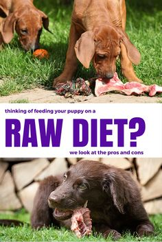 The pros and cons of raw feeding. How to decide whether or not to feed your dog on a raw diet