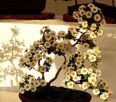 Flowering Bonsai | Flickr - Photo Sharing!