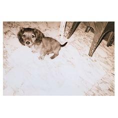 2017.3.15 * 軽く2日酔いの朝…🗣 * 枕を替えたら頭もちょっと痛い… * #gm . * #NAPO#napo#ナポさん #miniaturedachshund #ミニチュアダックスフント#dog#pet#愛犬#love #puppy #puppydog #臆病#仲間が居ると強い 笑。#優しい#車大好き #ママっ子 #house #home #セピア