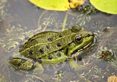 Green Frog   Endless Wildlife
