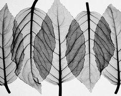 Fuscia Leaves-Black & White mural