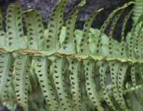 Reproducción de helechos - helecho.