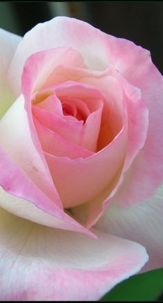 """A rose by any other name would smell as sweet.""  Perfect soft pink and white rose."