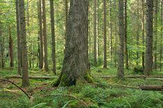 Nationalpark Bayerischer Wald, Germany #bavaria #forest