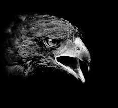 """Résultat de recherche d'images pour """"aigle noir"""""""