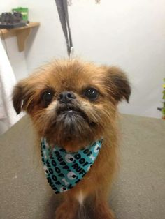 Brussels Griffon Oz, all handsome.