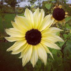 Cream white sunflower  Autumn in Denmark