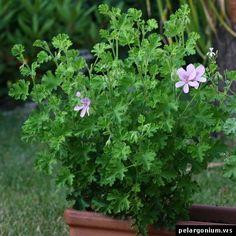 pelargonium citriodorum - lemon scented pelargonium