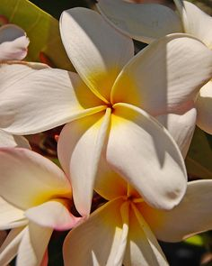 """""""Plumeria""""  no words can describe how wonderfully fragrant these are!"""