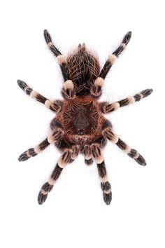 Giant White Knee Tarantula Tarantulas #tarantula #tarantulas
