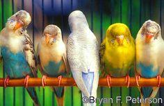 rare parakeets