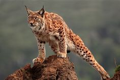 This Lynx watching or stalking something is a stunning photo of this wildcat.See Photo →