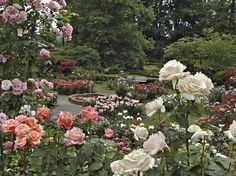 The Portland International Rose Garden, Portland, Oregon. Ok, this is my dream back yard behind my dream English Country home!