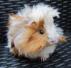 All Things Guinea Pig: Top Tips for Cavy Care