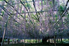 DerAshikaga Blumenparkbefindet sich in der Stadt Ashikaga, etwa 60 Kilometernördlich von Tokio.Der Park verfügt über eine Reihe von unglaublichen Blumen-Tunneln,…