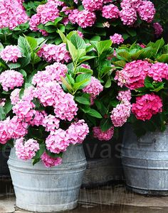 Flower History: Hydrangeas  The hydrangea was hidden in the secret gardens of Japan for hundreds of years, before it was discovered in 1776 by Swedish botanist Carl Peter Thunberg. He named it the viburnum macrophyllum or Large Leaved Viburnum. It was an unusual seedling, that produced a cylindrical flower head in stunning shades of pink, white, purple, and blue. A flower of this caliber had never before been seen by the western world.