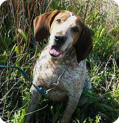 Chinook, MT - Hound (Unknown Type) Mix. Meet Ranger a Dog for Adoption.