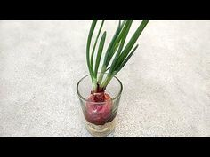 Best vegetables & herbs to regrow from kitchen scraps in water or soil. Start a windowsill garden indoors, or grow foods using grocery lettuce, beets, etc! Herb Garden In Kitchen, Veg Garden, Vegetable Garden Design, Edible Garden, Regrow Vegetables, Growing Vegetables, Growing Herbs Indoors, Growing Plants, Planting Onions