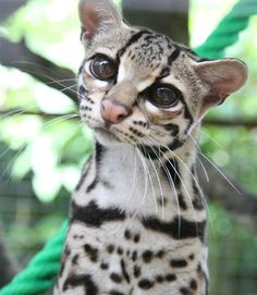 The Margay (Leopardus wiedii) is a small spotted cat (up to 9 lbs) that roams the rainforests from Mexico to Argentina.  A skillful climber, it is one of only two cat species with the ankle flexibility necessary to climb head-first down trees. (the other being the clouded leopard)