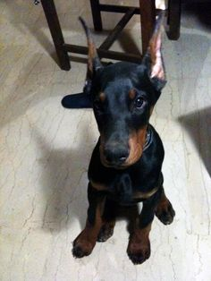 I want a  Doberman so bad and this pup makes it so much worse!
