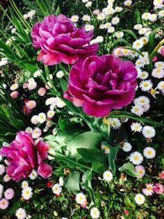 #nature#garden#tulip#daisies#purple#white#love#<3#:)#Hungary#green