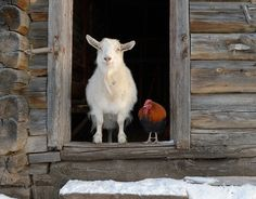 The odd couple. By looking directly, I love how goats look like they are naturally smiling. <3