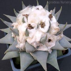 ariocarpus confusus