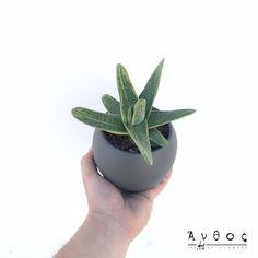 "Gasteria ""Little Warty"" Ένα εξαιρετικό παχύφυτο για εσωτερικούς χώρους, το οποίο ευδοκιμεί και μεγαλώνει ακόμη και σε συνθήκες χαμηλού φωτισμού. Τα φύλλα της είναι σε σκούρο και ανοιχτό πράσινο χρώμα και έχουν μία ελαφριά γυαλάδα. Καθώς αναπτύσσεται τα φύλλα της που μοιάζουν με γλώσσες, συσσωρεύονται το ένα πάνω στο άλλο ώστε νέα φυτά να μπορούν να μεγαλώσουν στη βάση της. Η ""gasteria"" έχει μικρές απαιτήσεις σε φως και νερό και είναι ένα από τα καλύτερα είδη παχύφυτων που αναπτύσσονται σε… Cactus Plants, Cacti, Cactus"