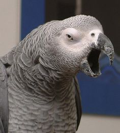 Cute yawning parrot